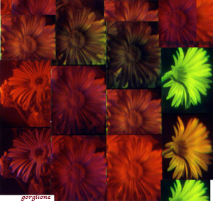 Gerbera daisies multicolor holograms by n Gorglione all rights reserved
