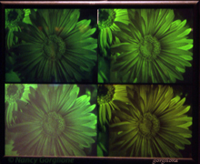 gerbera Daisies multicolor reflection hologram by Nancy Gorglione all rights reserved